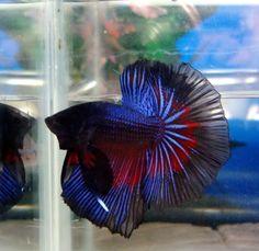 Blue Halfmoon Fish