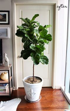 Decor-Eat: My Fiddle Leaf Fig Is Going Gangbusters Fiddle Leaf Fig Tree, Plant Care, Potted Plants, Houseplants, Flower Arrangements, Leaves, Flowers, Household, Honey