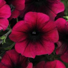 Petunia Easy Wave Velour Burgundy Easy Wave Velour Burgundy Petunia Seeds produce deep cabernet flowers with velvety undertones and darker throat. Order today from Harris Seeds. My Flower, Flower Pots, Trailing Petunias, Petunia Flower, Petunia Care, Easy Waves, White Flower Farm, Fast Growing Plants, Growing Vegetables