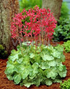 Heuchera sanguinea in my garden