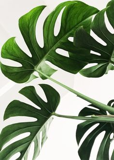 It's Monstera Monday😍🎉 we are getting our interstate subscriptions ready to be shipped of today, how exciting! We can't wait to see all the beautiful monstera posts today! Plant Images, Plant Pictures, Wall Pictures, Background Pictures, Nature Pictures, House Plants Decor, Plant Decor, Vase Transparent, Decoration Photo