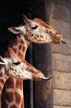 Giraffe catching rain drops