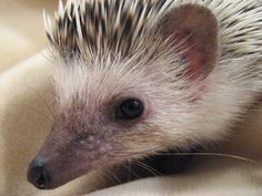 Caring for pet hedgehogs