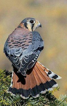 "chefepaulino: ""Aves e pássaros "" All Birds, Birds Of Prey, Love Birds, Beautiful Birds, Falcon Hawk, Buzzard, Bird Pictures, American Kestrel, Nature Animals"