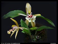 Coelogyne schilleriana. A species orchid