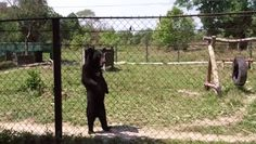 There's nothing like going for a walk, even if you're a bear! This furry friend seen in an animal rescue center in southeast Asia got up on his hind legs much to everyone's surprise. Laos, Best Funny Pictures, Cute Pictures, Funny Animals, Cute Animals, Animal Rescue Center, Bear Costume, Bear Cartoon, Gif Of The Day