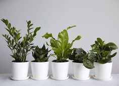 Five favorites fit for New Yorkers: ZZ plant, snake plant, bird's nest fern, philodendron silver, baby rubber plant