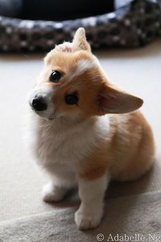 Lovable Pembroke Welsh Corgi Puppy :)