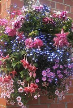 Lobelia Laura Blue Eyes  Fuchsia Pink Galore  Ivy Geranium Mexicana  Petunia Tumbelina Rosy Ripple  Brachyscome Strawberry Pink  Calibrachoa Pink Morn