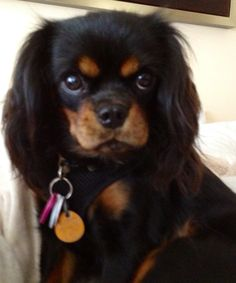 Reminds me of my sister-in-law's King Charles Spaniel.  Adorable, smart, fun loving, loyal.