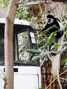 A well trained Colobus monkey checking the insurance and tax discs on an Intimate Places Camping lorry at Mount Meru Game Lodge. Get Closer. Be Closer. Mount Meru, Game Lodge, Private Games, Tanzania, Closer, Monkey, Safari, Wildlife, Africa