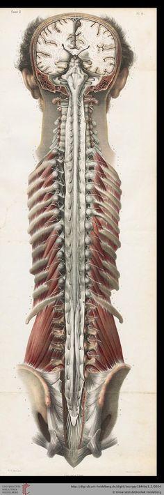 Bourgery, Jean Baptiste Marc ; Jacob, Nicolas Henri [Hrsg.] Traité complet de l'anatomie de l'homme: comprenant la médicine opératoire (Band 3, Atlas) — Paris, 1844