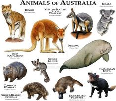 Fine art illustration of some of the mammals native to Australia Animals of Australia Animals Of The World, Animals And Pets, Cute Animals, Unique Animals, Terrarium Reptile, Les Reptiles, Native Australians, Animal Species, Endangered Species