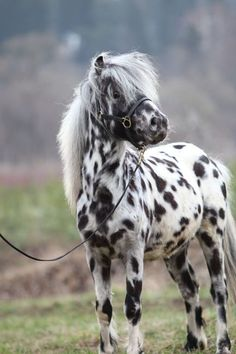 Beautiful Leopard Appaloosa Horse I WANT ONE NOW!! Wonder if our apartment will know it's not a dog!