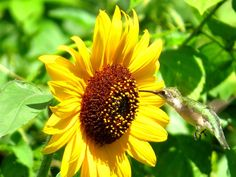 Sunflower and the Hummingbird Photo by A. Bhat