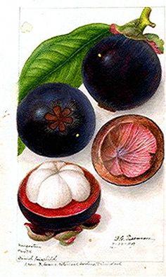 Botanical – Fruit – Mangosteen