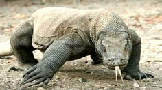 The Komodo dragon (Varanus komodoensis), also known as the Komodo monitor, is a large species of lizard found in the Indonesian islands of Komodo, Rinca, Flo. Ugly Animals, Giant Animals, Animals And Pets, Ugliest Animals, Reptiles, Amphibians, Large Lizards, Komodo National Park, Komodo Island
