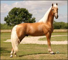 GUN'S GOLD REFLECTION_  Tenn. Walking Horse