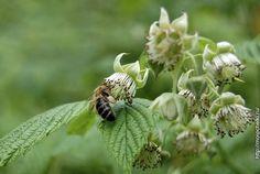 Пчела на цветках малины