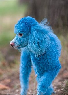 Funny And Cute Animals Silly Dogs, Funny Dogs, Funny Animals, Cute Animals, Colorful Animals, Dog Hair Dye, Dog Dye, Poodle Hair, Pet Shampoo
