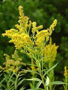 Kanadanpiisku, Solidago canadensis - Kukkakasvit - LuontoPortti