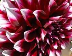 just love dahlias!