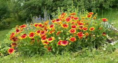 Blanket Flower   - drought tolerant and can grow under very difficult conditions, even enduring full summer heat with only moderate watering and feeding.   - sow seeds from early spring to early summer. It will bloom in its first year, and cutting faded flower stalks will help preserve its lengthy blooming season. Space plants 15 to 18 inches apart, and have stakes handy, because Blanket Flowers can get floppy!    Place Blanket Flowers in garden borders that receive a lot of sun.