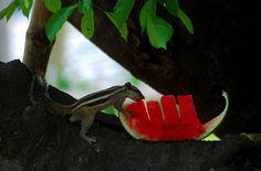 Un Funambulus palmarum mangia un pezzo di anguria a Bhubaneswar, in India (ASIT KUMAR/AFP/Getty Images)