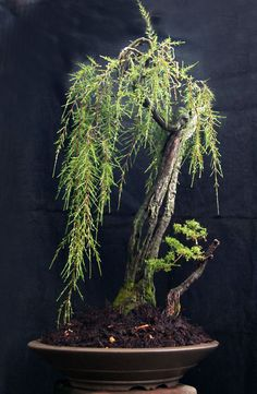 Baeckea frutescens bonsai