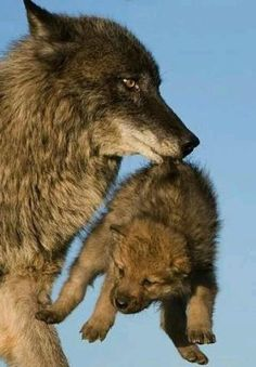 Mackenzie Valley Wolf and Pup Wolf Pictures, Animal Pictures, Nature Pictures, Cute Baby Animals, Animals And Pets, Wild Animals, Beautiful Creatures, Animals Beautiful, Tier Wolf