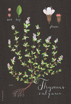 Thyme print 13x19 Botanical collection flower plant herbs //