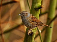 Dunnock by imageprovider, via Flickr