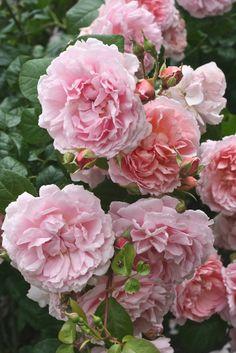 English Roses at Kew Gardens, July 2013