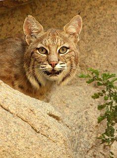 Desert Bobcat. - Desert bobcat in California.
