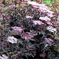 Black Beauty Elderberry