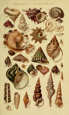 Fox Press™ : Conchas do Mar Vintage Botanical Prints, Botanical Drawings, Botanical Art, Vintage Prints, Botanical Posters, Antique Prints, Art And Illustration, Antique Illustration, Girl Illustrations
