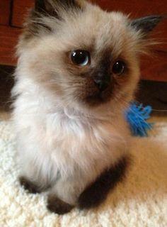 Cute Fluffy Burmese Kitten