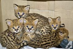 Very exotic serval, savannah, caracal and bengal kittens