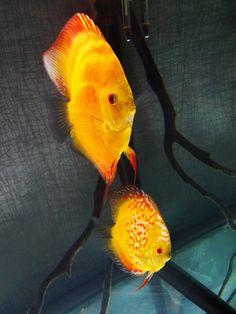 Pigeonblood discus fish, roughly 5""
