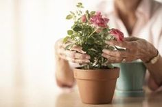 Just because it came in a pot does not doom it to an indoor life. Potted roses can make the big move to the flower garden in the spring, summer or fall in Mediterranean climates. Allowing a ...