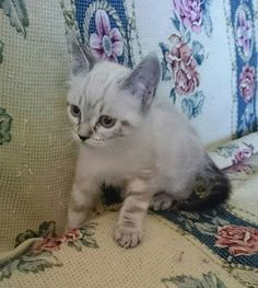 OLATZ - Gato adoptado - AsoKa el Grande