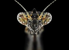 A view of a Tiny Unicorn Mantis. Indonesian photographer Donald Jusa, 33, took the 'insect portraits' to showcase the dazzling diversity of the insect kingdom