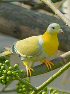 Yellow-footed Green Pigeon (Treron phoenicoptera) - photo by Biswarup Satpati, via TrekNature; also called Yellow-legged Green Pigeon; This is a common pigeon found on the Indian subcontinent. Kinds Of Birds, All Birds, Little Birds, Love Birds, Pretty Birds, Beautiful Birds, Animals Beautiful, Cute Animals, Exotic Birds