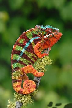 Types of Chameleons - Whether you're an animal enthusiast or an inquisitive admirer of lizards, knowing how many types of chameleons there are can be surprising. Colorful Animals, Nature Animals, Animals And Pets, Cute Animals, Les Reptiles, Reptiles And Amphibians, Mammals, Beautiful Creatures, Animals Beautiful