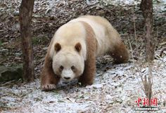 """cctvnews: """" Rare brown-and-white panda Qizai revels in spring Workers at a giant panda base in northwestern China's Qinling Mountains have photographed Qizai, a rare brown-and-white panda, frolicking. Brown Panda, Brown Bear, Panda Love, Cute Panda, Types Of Pandas, Wild Animal Rescue, Animals And Pets, Cute Animals, My Little Girl"""