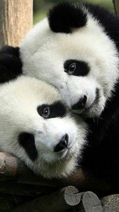 Pandas.   My sorority mascot  Theta Sigma Kappa