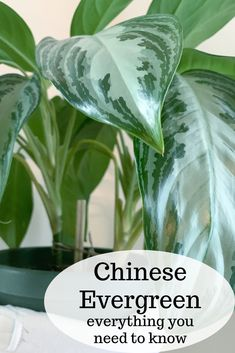 The Chinese evergreen (Aglaonema silver bay) is known for the striking variegation on its leaves. This plant is insanely easy to take care of. It was one of the first plants I owned and is still going strong to this day!  #aglaonemasilverbay #aglaonemasilverbaycare #greenthumb #lowmaintenance #chineseevergreen #chineseevergreencare #greenthumb