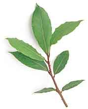 Bay Laurel Laurus nobilis Uses: Culinary/Medicinal/Industrial Duration: Perennial (hardy in zones 8-10) When to Sow: Spring Ease of Germination: Moderate/Special Treatment Required Like wine, thyme and leeks, bay leaf is a foundation flavour of French cuisine. Meat, fish and poultry dishes almost always have a touch. Frost-sensitive small trees; best grown in tubs that afford easy movement indoors during winter. Note: Bay seeds will not germinate if they dry out too much in storage.