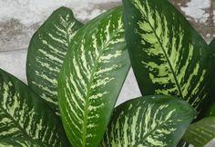 A buzogányvirág (Dieffenbachia maculata) gondozása - CityGreen. Garden Plants, Gardening Tips, Plant Leaves, Flowers, Image, Interior, Photos, Decor, Indoor