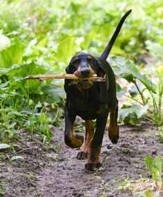 The 43 most active dog breeds – #24: Black and Tan Coonhound http://www.pindoggy.com/pin/9736/